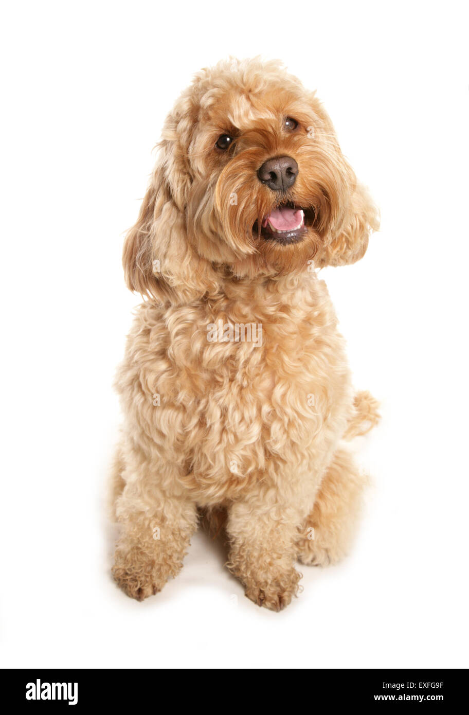 Cockerpoo Single adult sitting in a studio - Stock Image