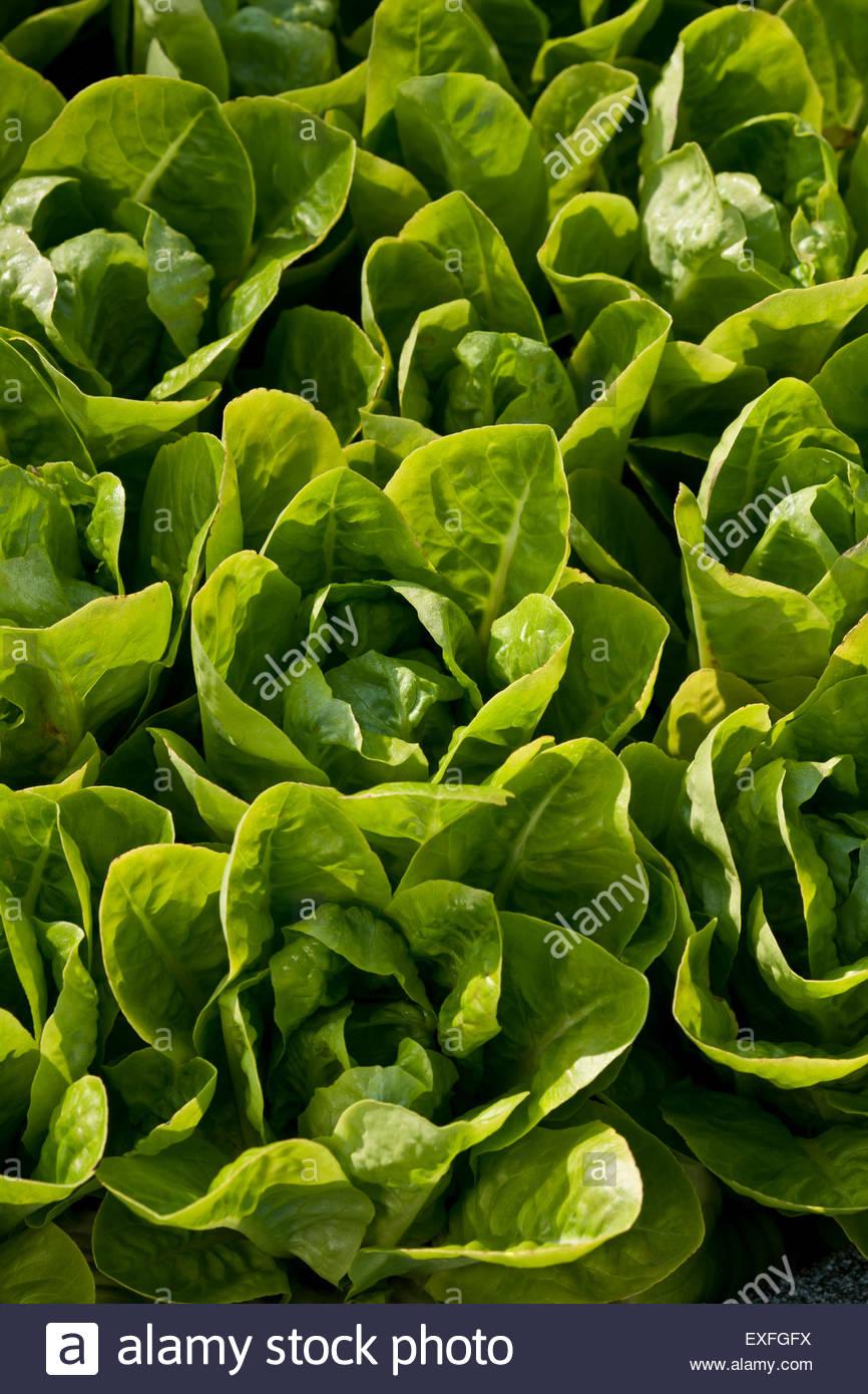 Lactuca sativa 'Little Gem' lettuce - Stock Image