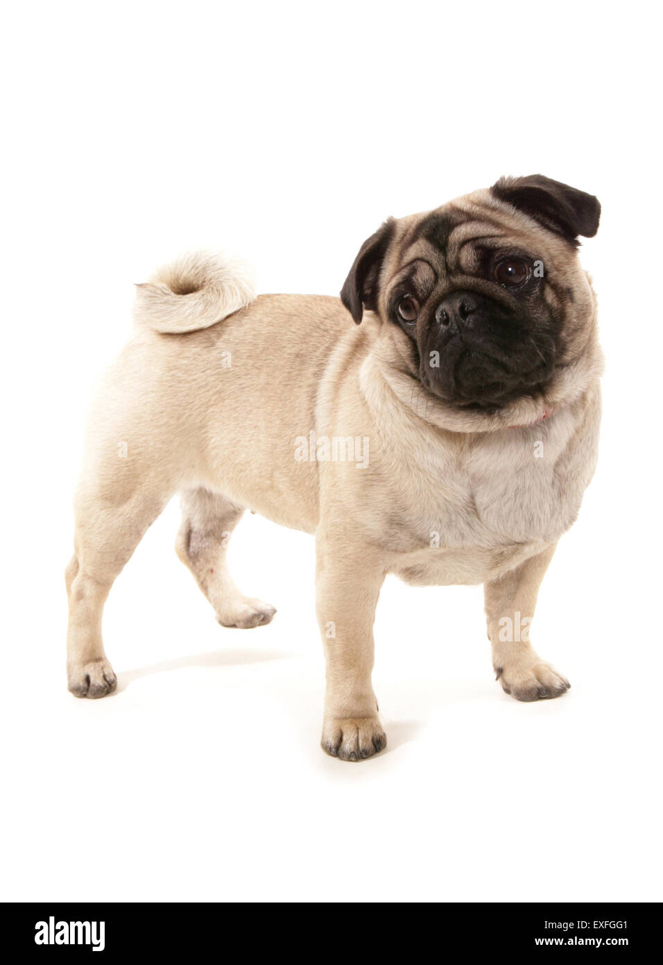 Pug Single adult dog in a studio - Stock Image