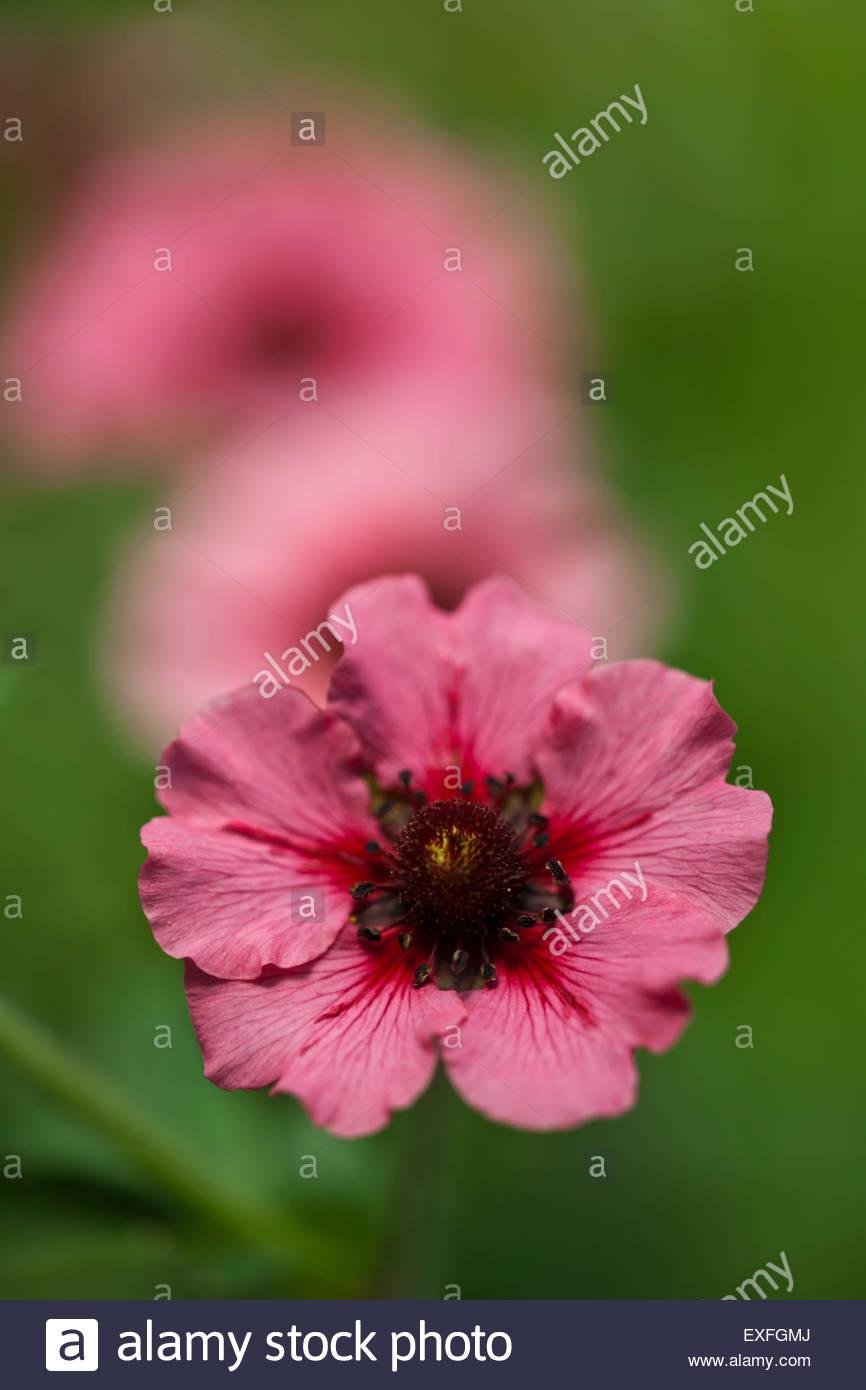 Potentilla nepalensis 'Miss Willmott' - Stock Image