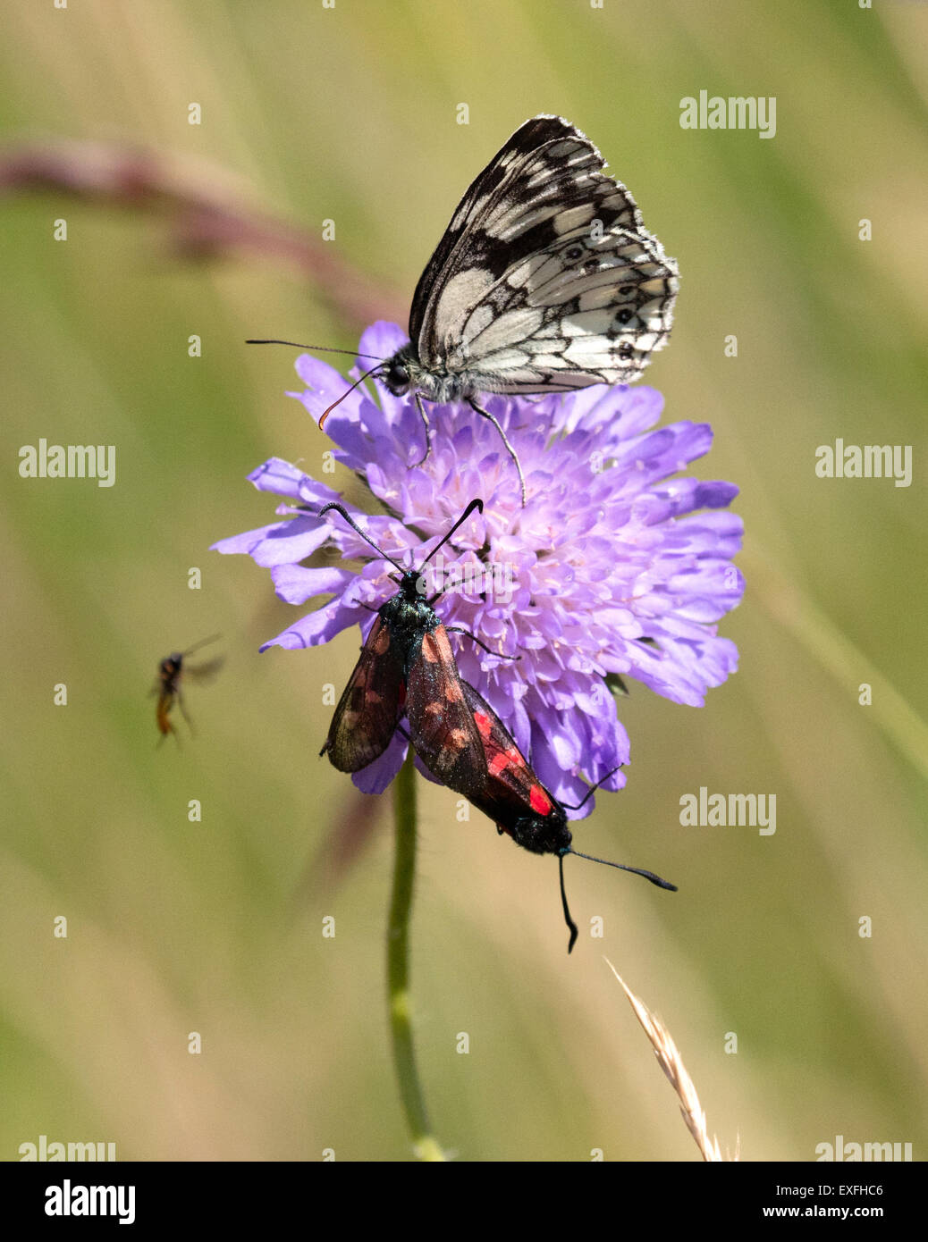 Several flying insects feeding on a Field Scabious flower Knautia arvensis including Marbled White and Five Spot - Stock Image