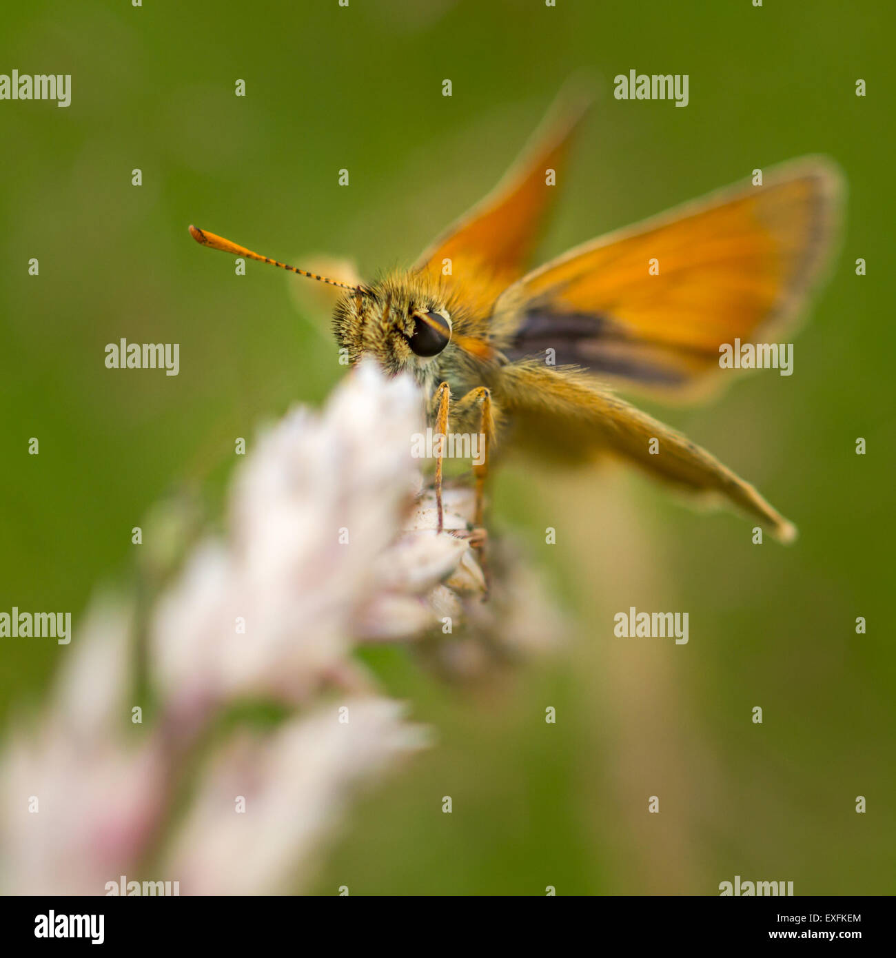 A small skipper butterfly on a grass seed head, Yorkshire, UK - Stock Image