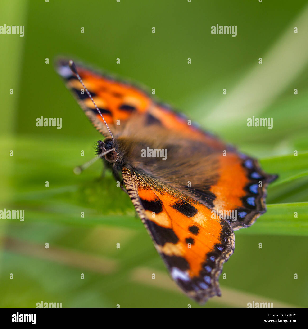 Small Tortoiseshell butterfly resting in the undergrowth, Yorkshire, UK - Stock Image