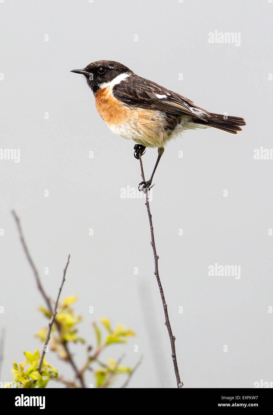 Male European Stonechat Saxicola rubicola perched on a thin blackthorn twig Gower peninsula South Wales UK Stock Photo