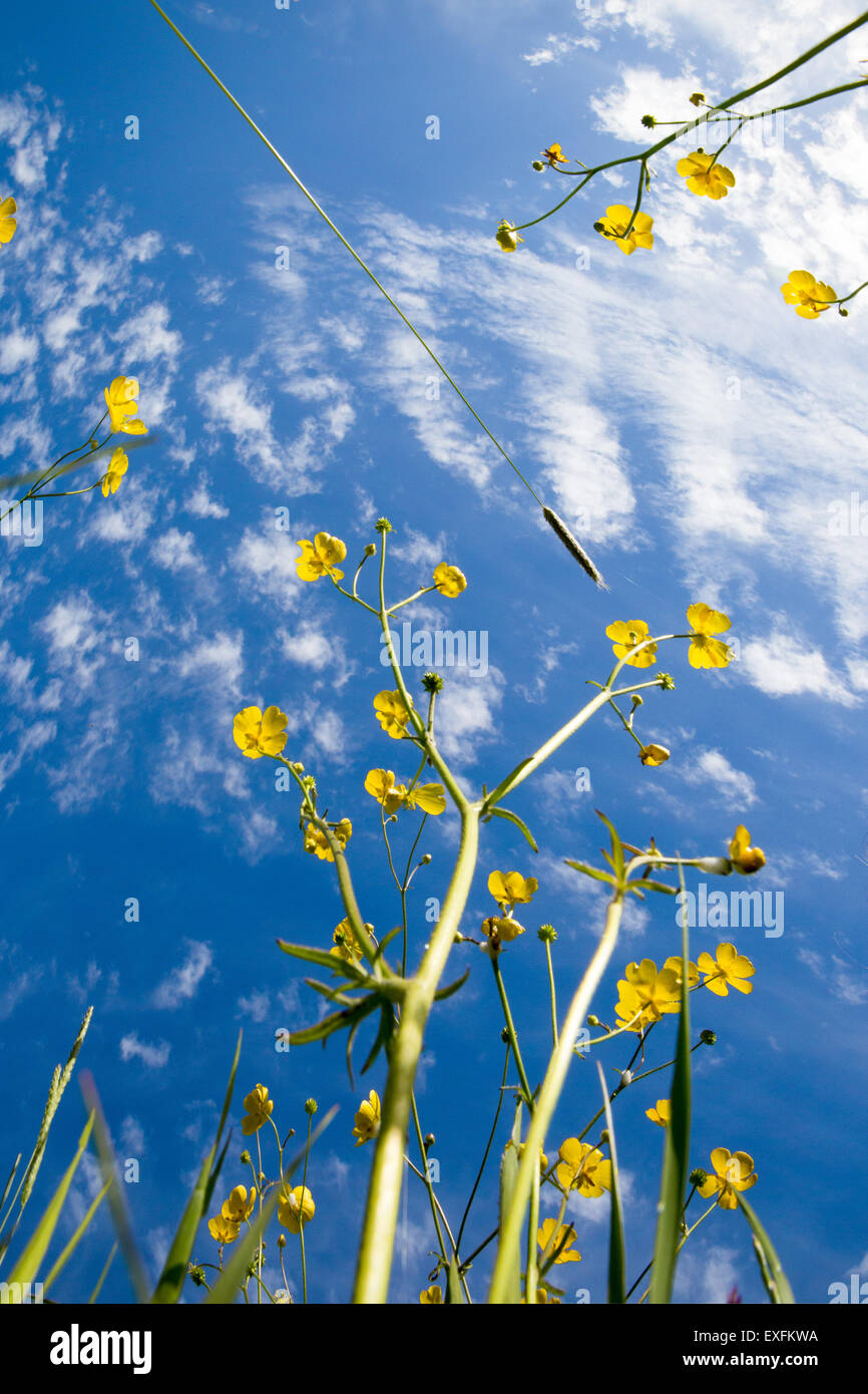 Worms eye view of buttercup flowers against a summer sky - Stock Image
