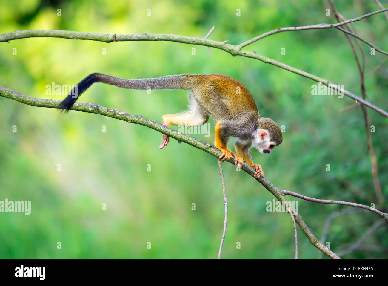 Squirrel monkeys in trees - photo#33