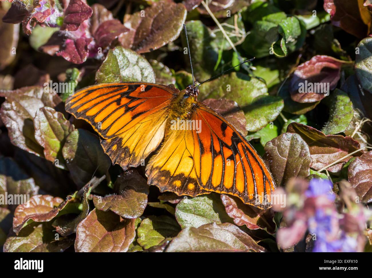 Golden orange butterfly - Stock Image
