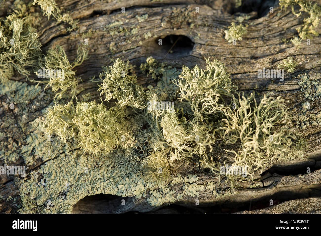 Lichen on dead tree - Stock Image