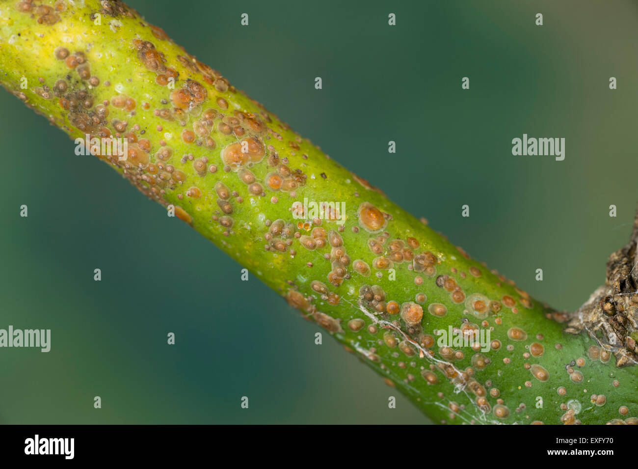 Red scale insects on lemon twig Stock Photo