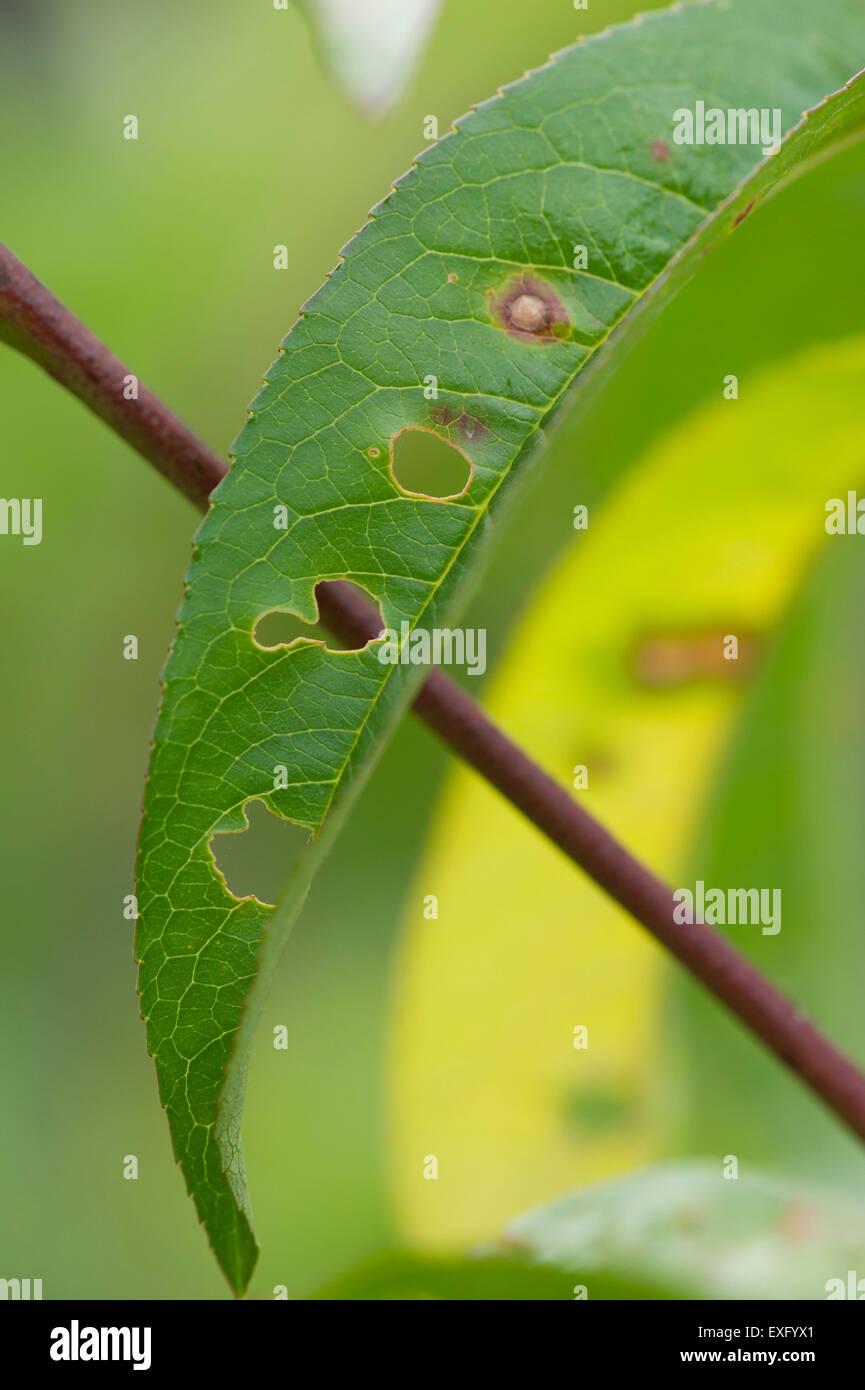 Shothole symptoms on nectarine tree - Stock Image