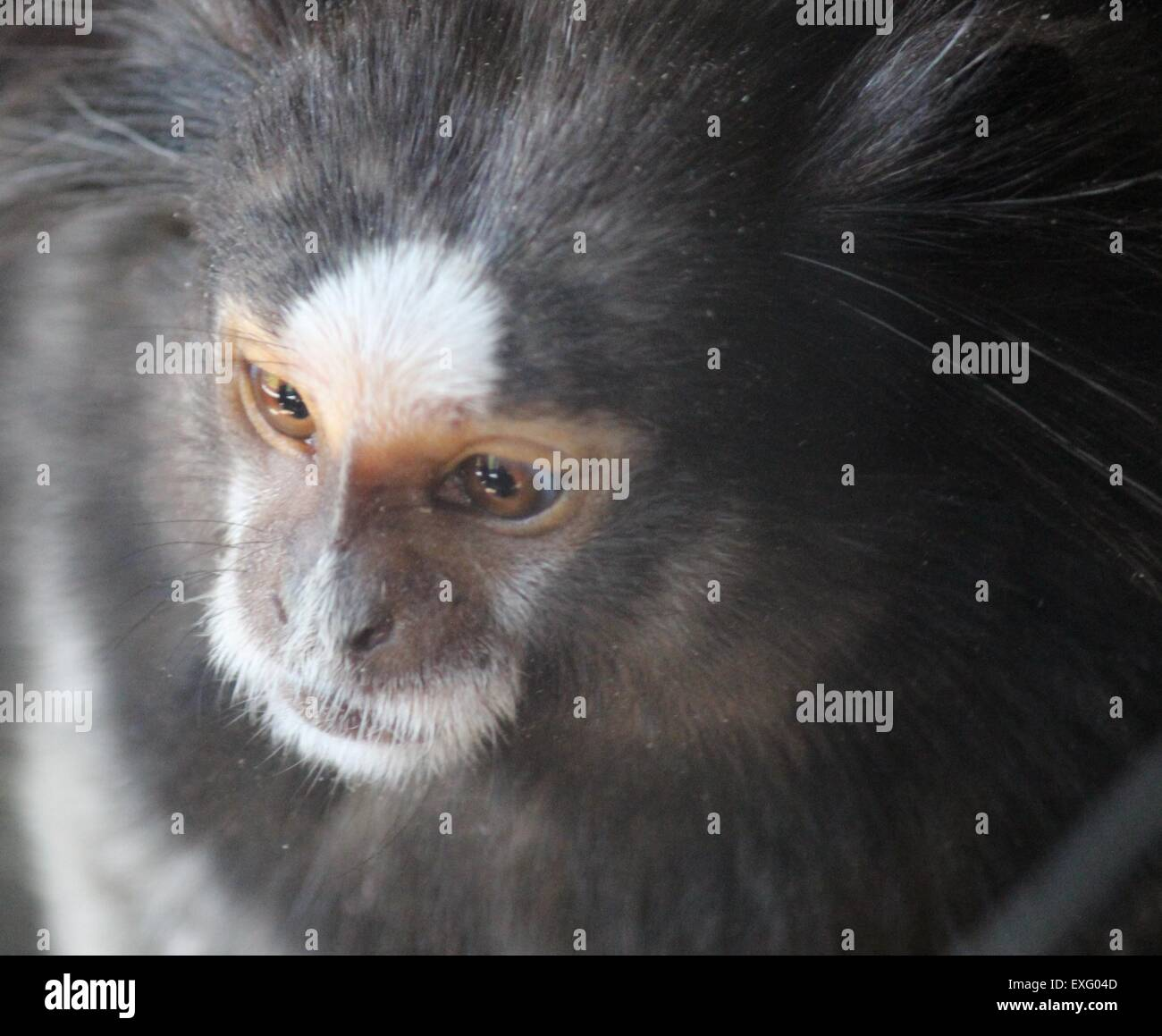 Capuchin monkey. Stock Photo