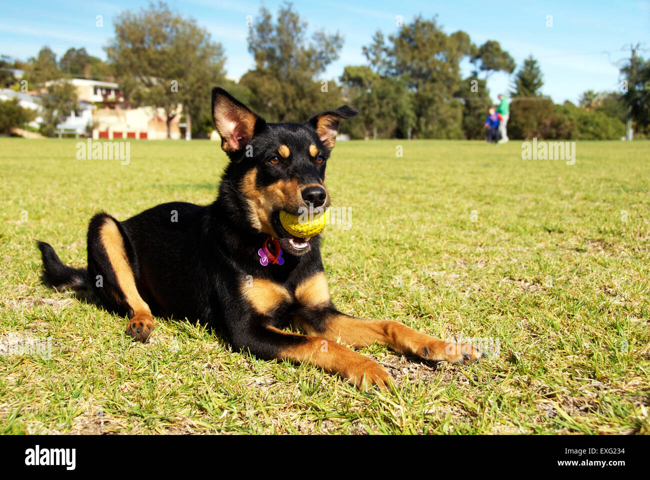 Superb Australian Kelpie Dog Lying On Grass At The Park With A Ball Pdpeps Interior Chair Design Pdpepsorg