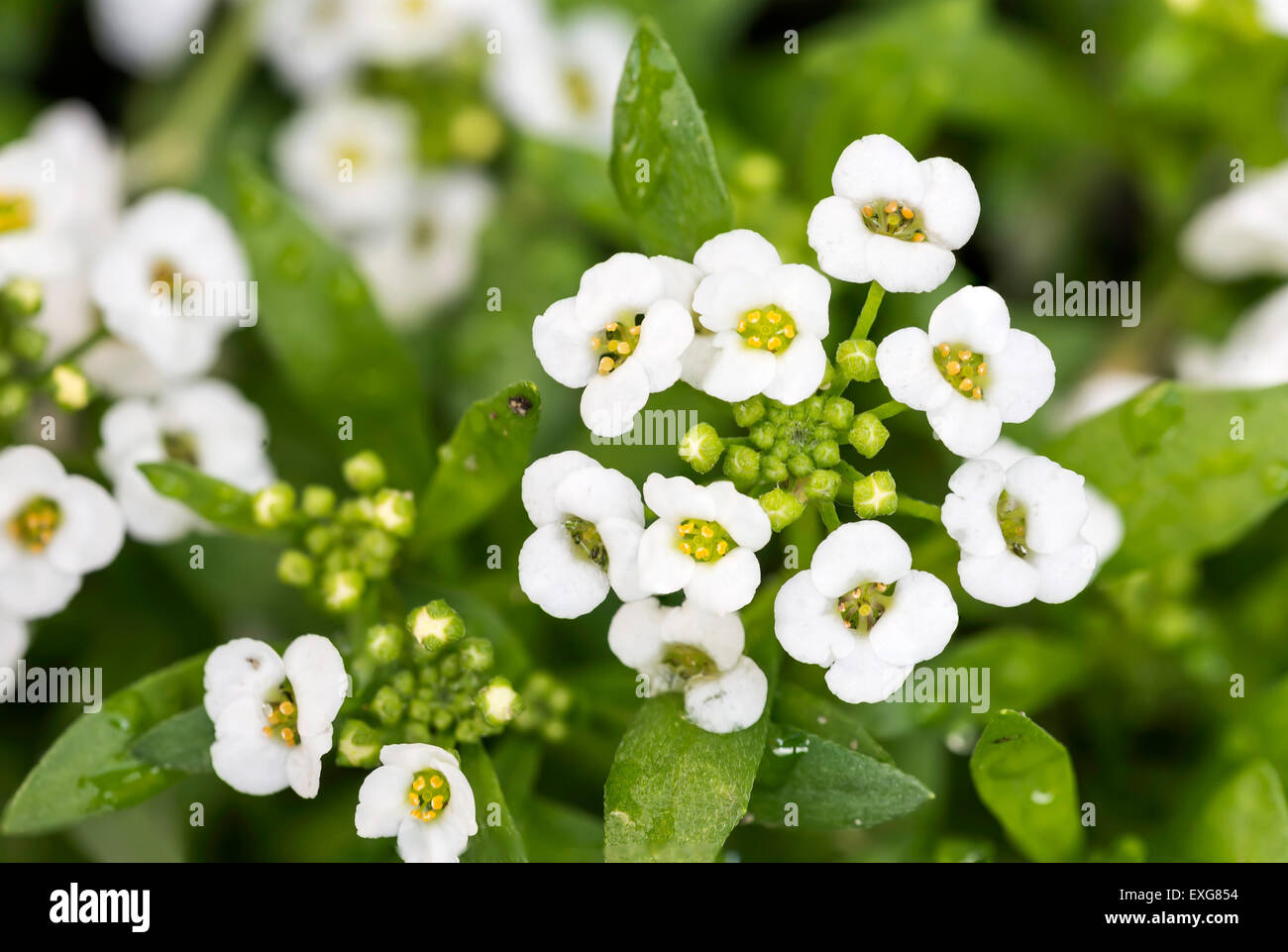 Little White Lobularia Maritima Flowers With Four Petals In A Garden