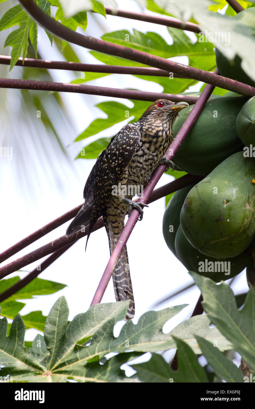 Indian Koel (Eudynamys, Scolopacea) - Stock Image