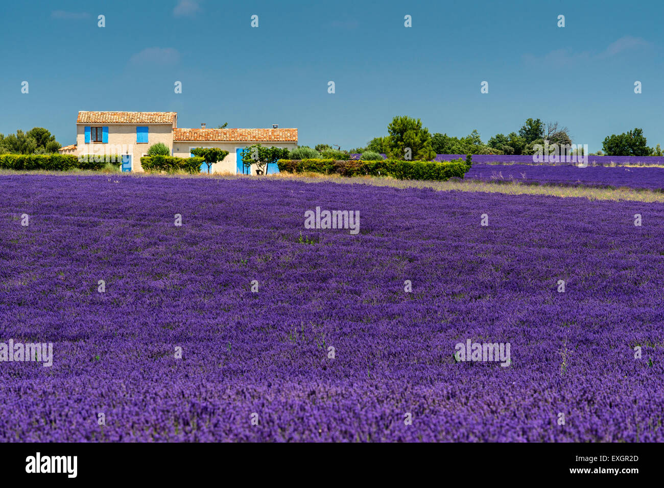 Scenic lavender field in Provence, France - Stock Image