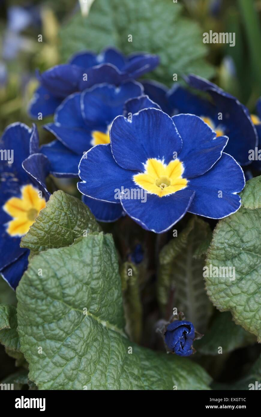 Blue flowers with yellow centre stock photos blue flowers with primula vulgaris primrose blue flowers with yellow centre close up mightylinksfo