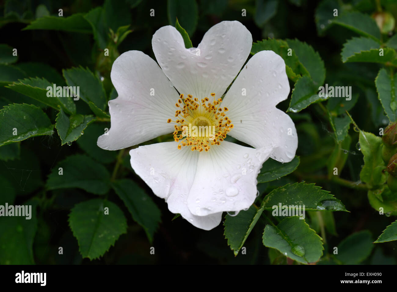 Dog rose rosa canina wild climbing plant with pink and white stock dog rose rosa canina wild climbing plant with pink and white flowers with raindrops after the rain in summer berkshire june mightylinksfo