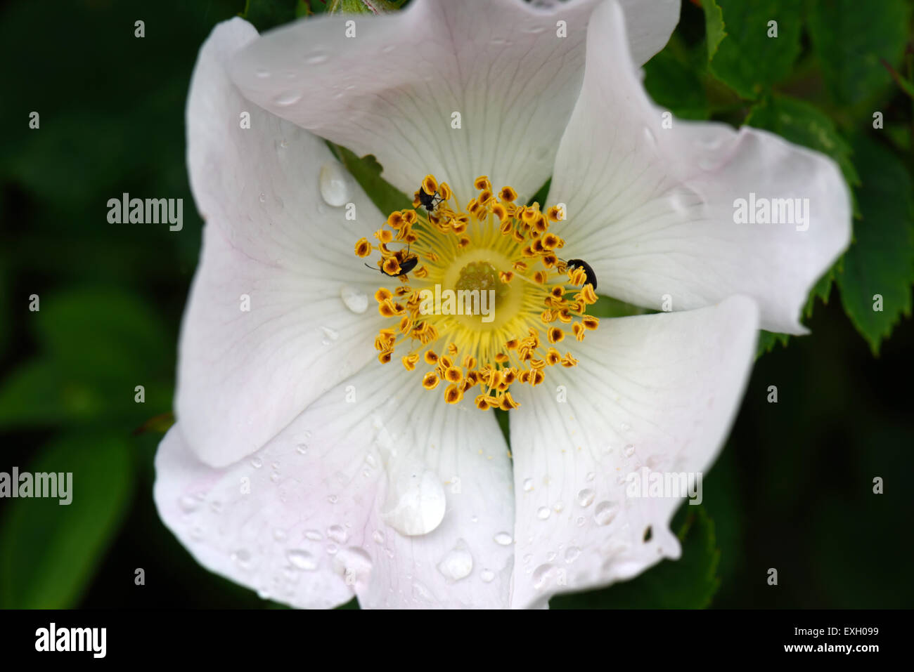 Dog rose, Rosa canina, wild climbing plant with pink and white flowers with raindrops after the rain in summer, Stock Photo