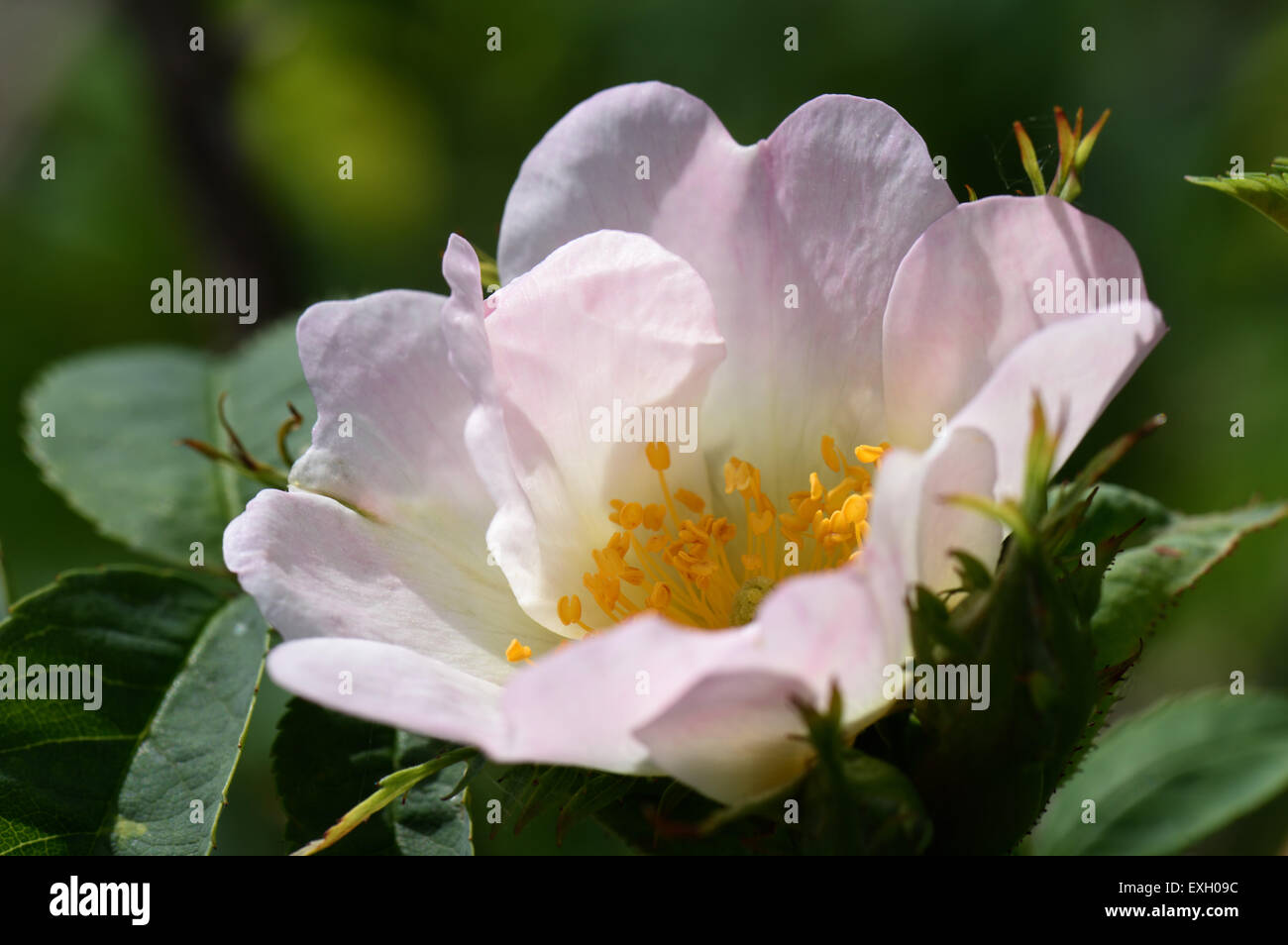 Dog Rose Rosa Canina Flowering Wild Climbing Plant With Pink And