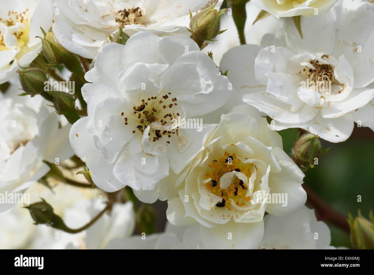White flowers of a rambling rector rose with pollen beetles, Berkshire, June - Stock Image