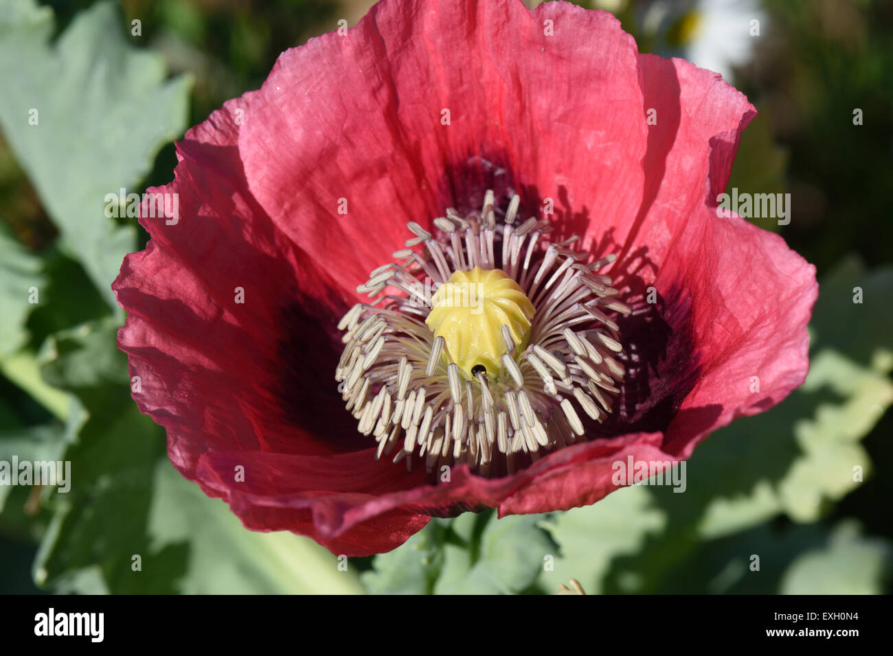 Pink flower of an opium poppy, Papaver somniferum, and annual garden plant or pharmaceutical crop, Berkshire, July - Stock Image
