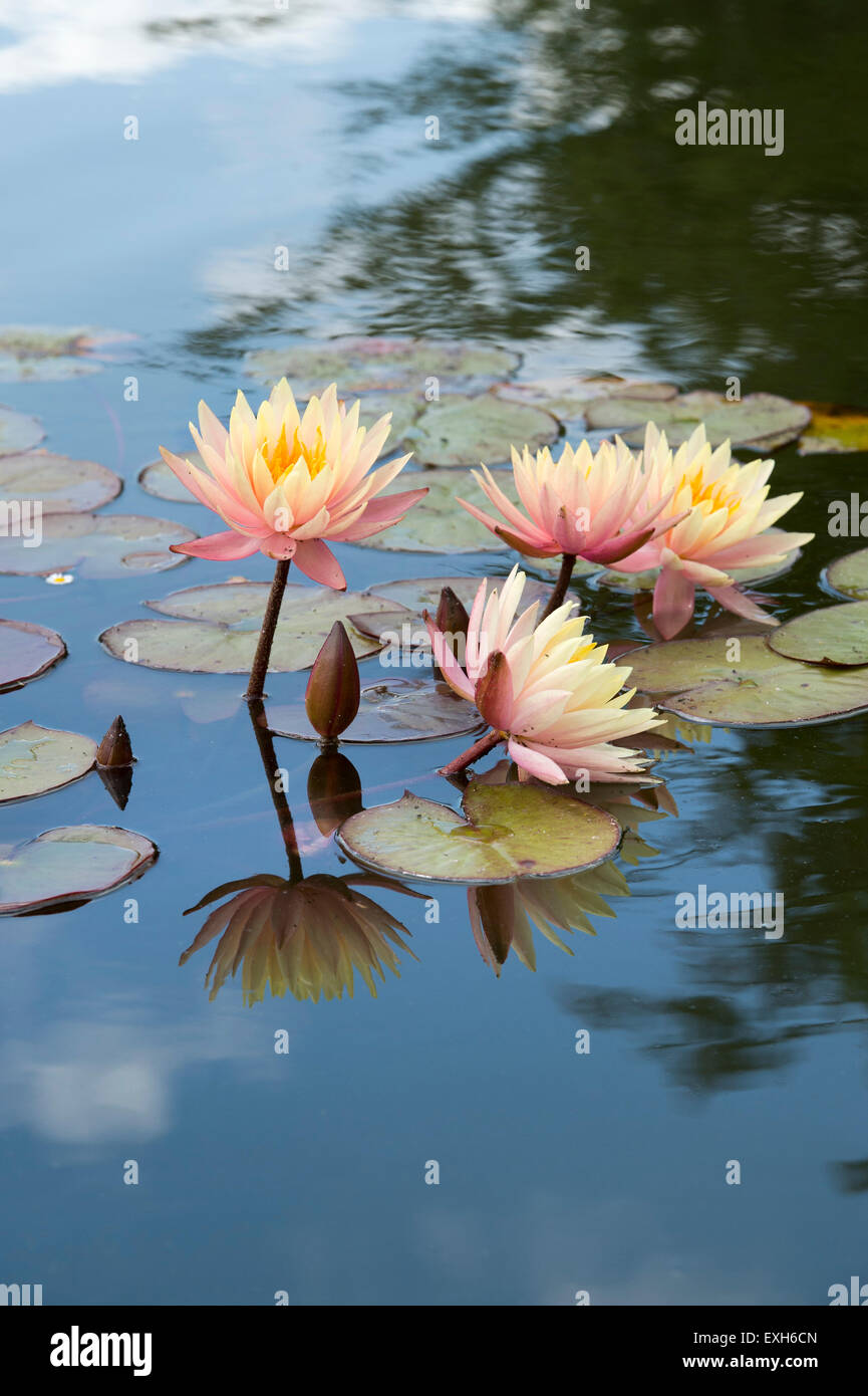 Nymphaea Maria. Hardy Water Lily flowers in a pond with reflections - Stock Image