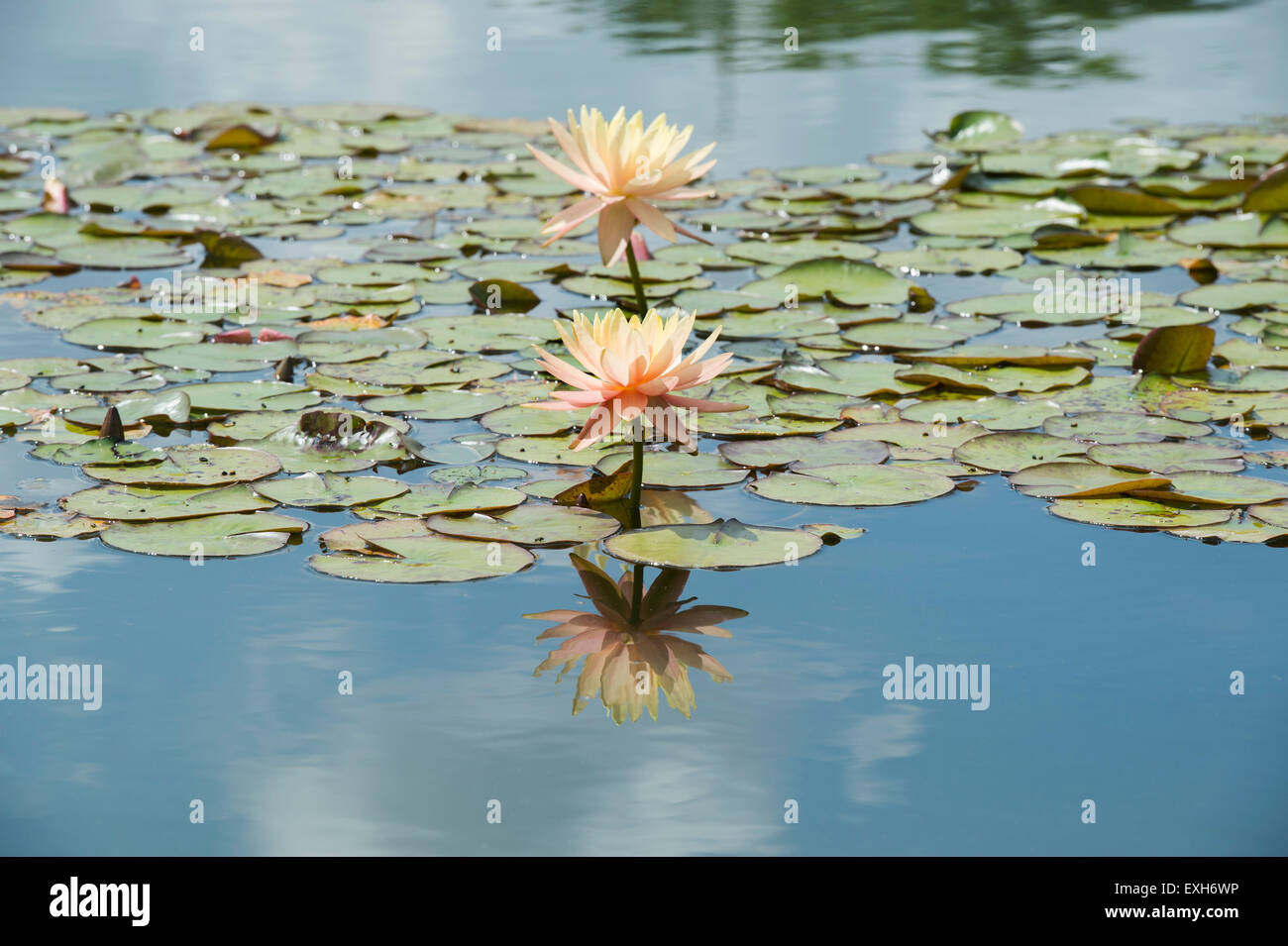 Nymphaea Maria. Hardy Water Lily in a pond with reflections - Stock Image