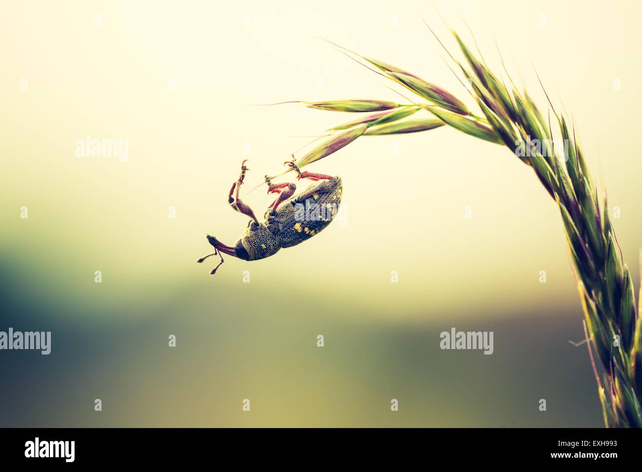 Close up of beetle sitting on plant. Beautiful natural macro of insect. - Stock Image