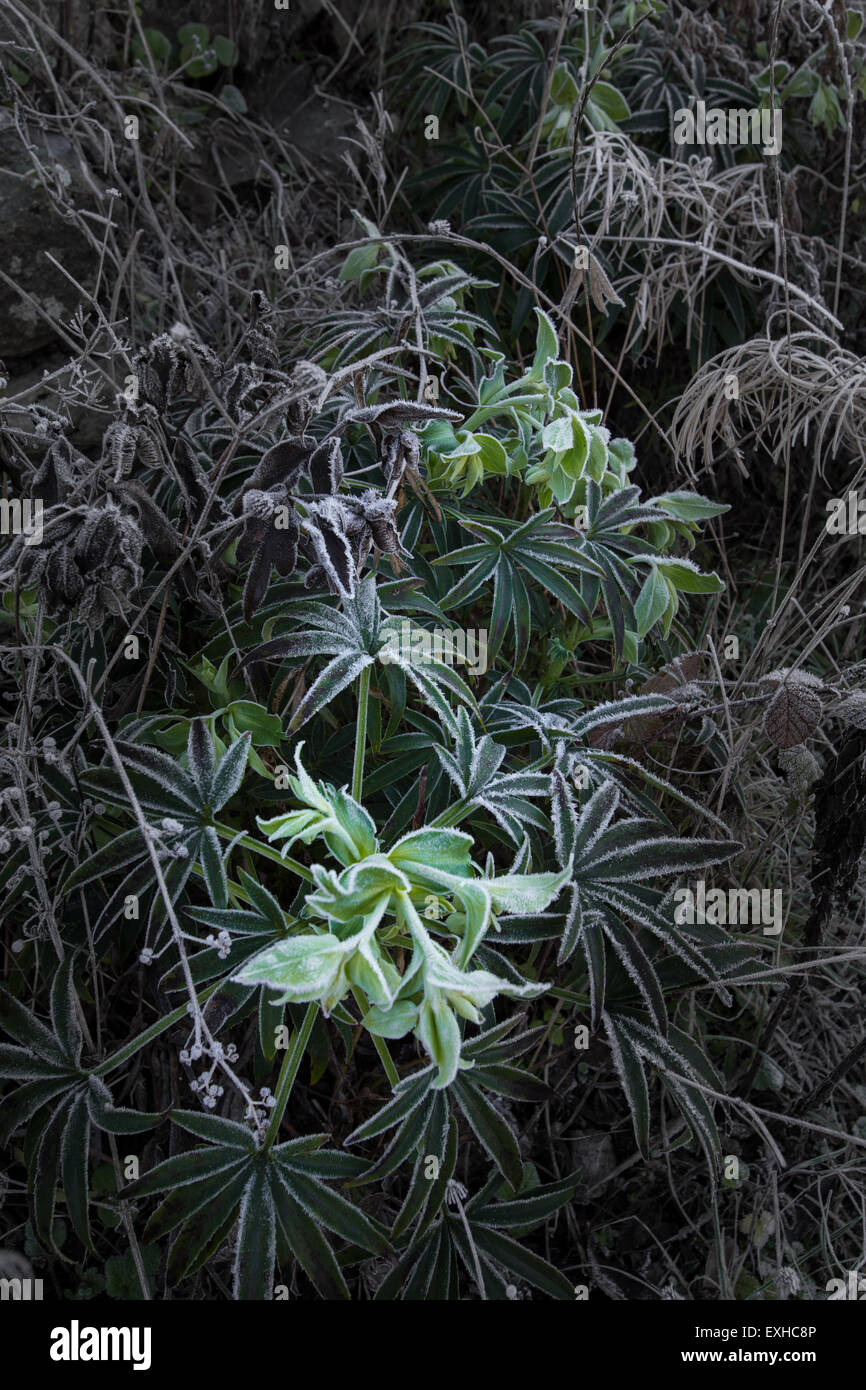 Frost on vegitation and leaves on a cold day. - Stock Image