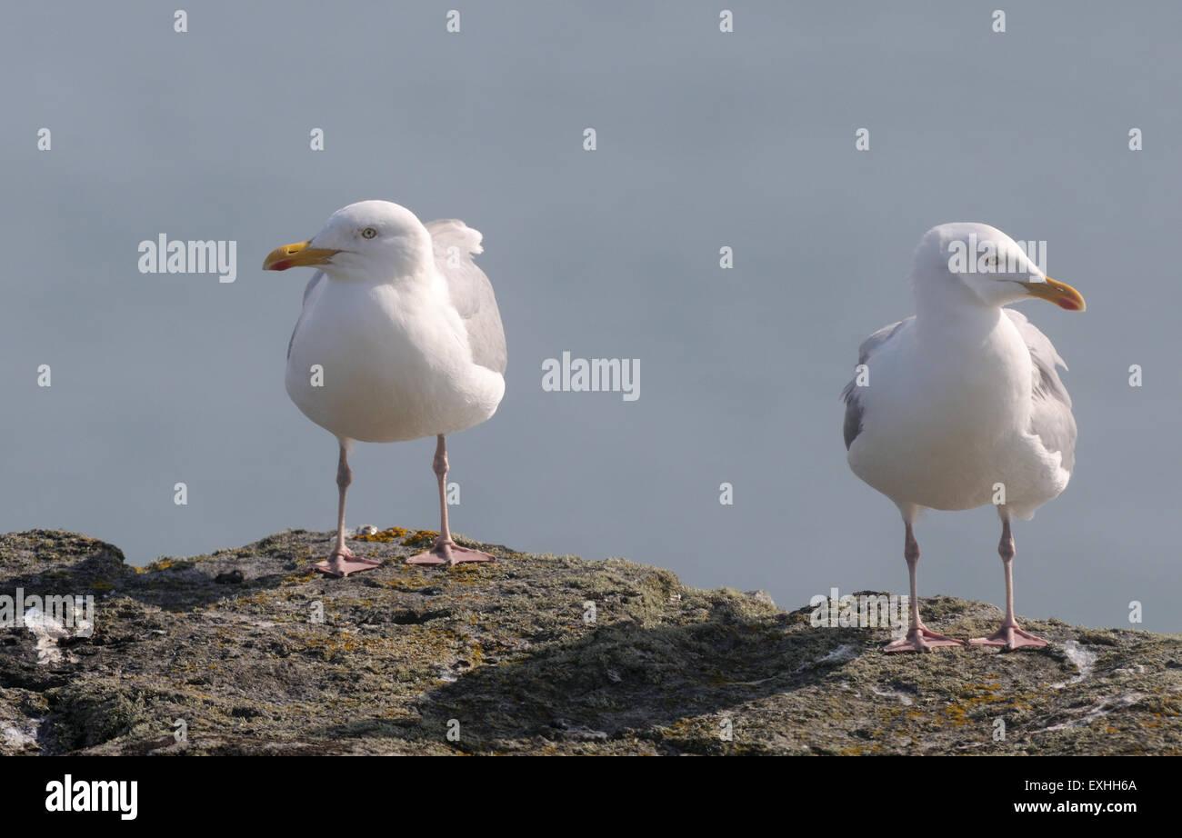 Herring Gulls (Larus argentatus), Hirta, St Kilda, Scotland, UK. - Stock Image