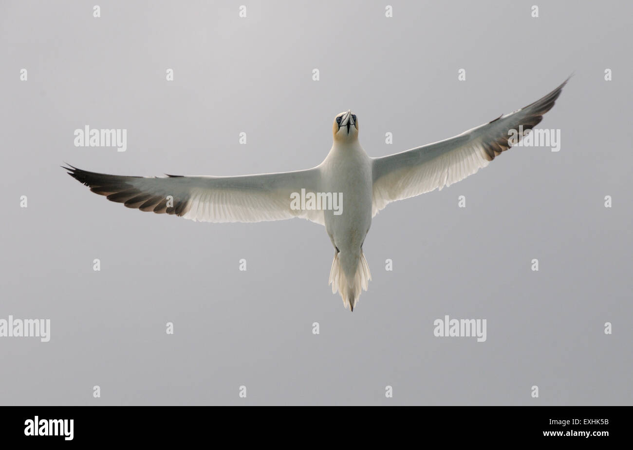 An adult Northern Gannet (Morus bassamus) near the nesting colonies on Stac Lee and Stac an Armin off the the island - Stock Image
