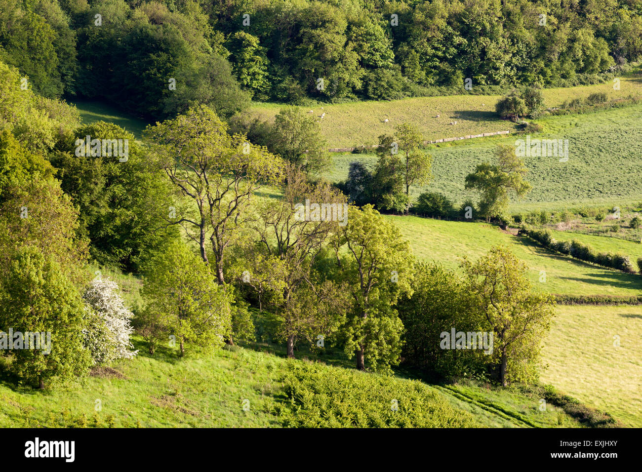 Springtime trees at the foot of the Cotswold scarp at Coaley Wood, Nympsfield, Gloucestershire UK - Stock Image