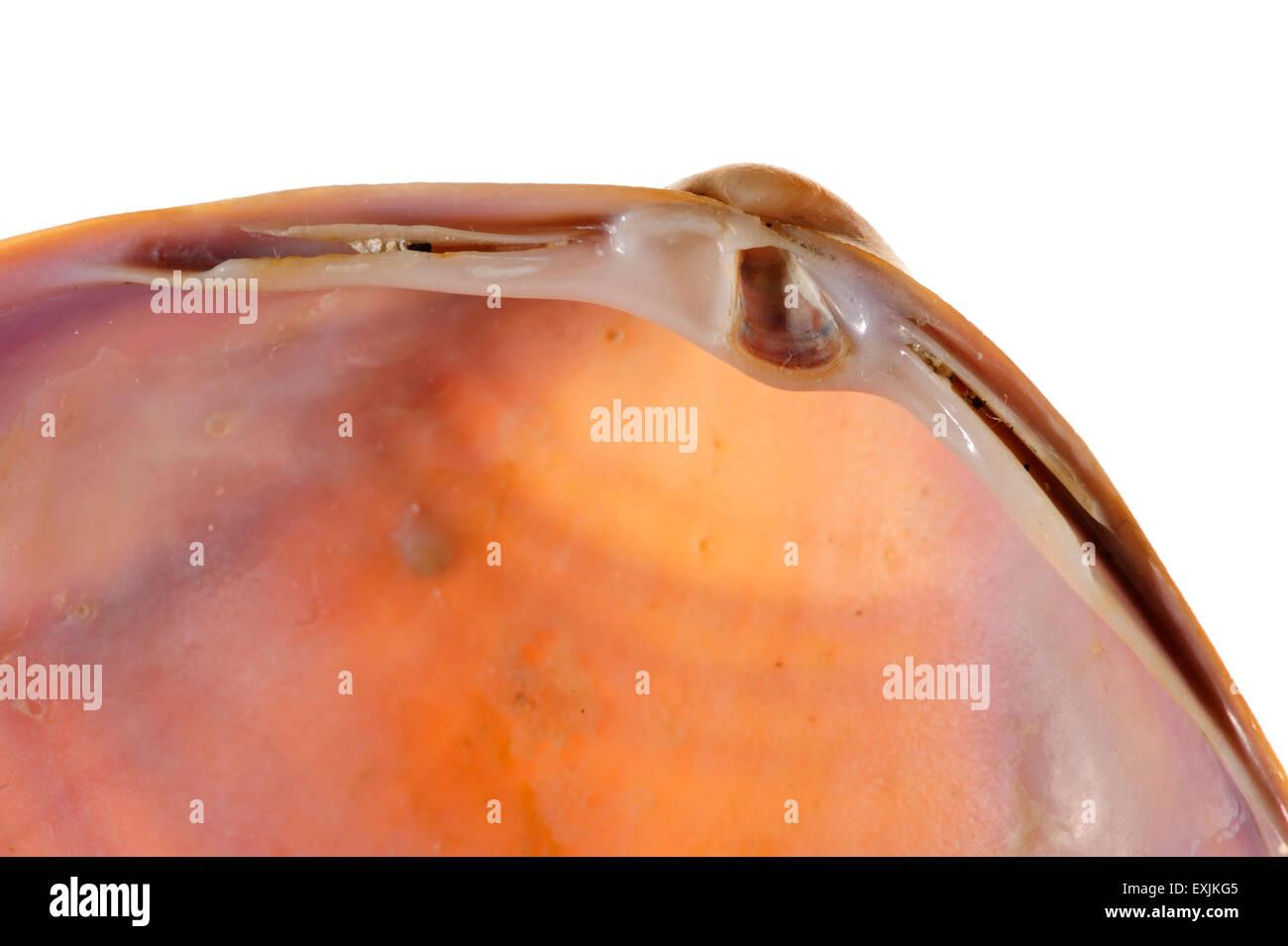 Rayed trough shell (Mactra stultorum cinerea / M. corallina cinerea) showing umbo, cardinal teeth, lateral teeth - Stock Image