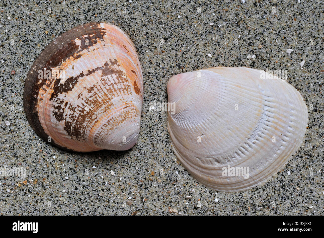 cockles pictures cockles cockle shells cardiidae stock photos cockles 6092