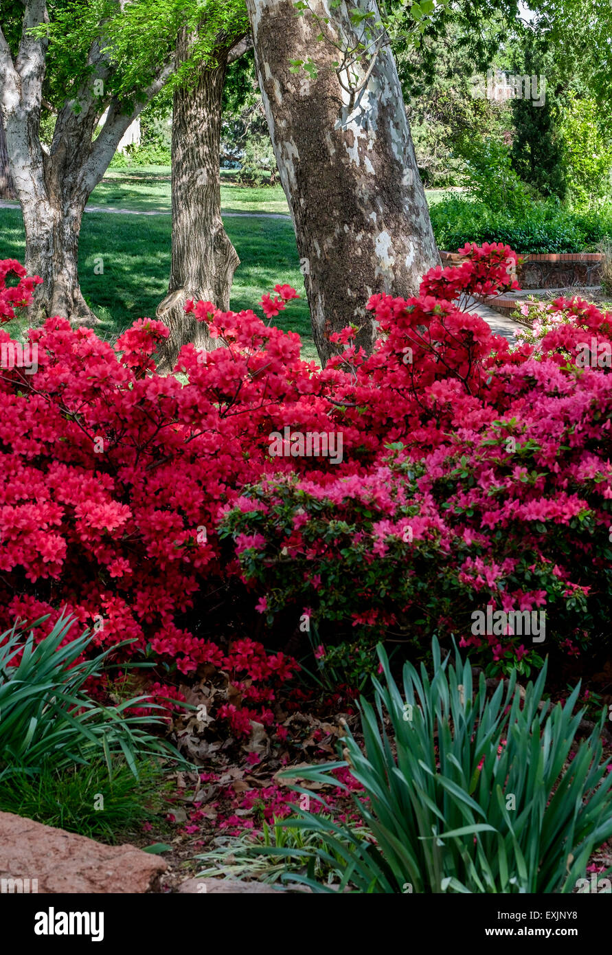 An American Sycamore tree shows its unusual bark pattern behind springtime blooming Azaleas in a public park in - Stock Image