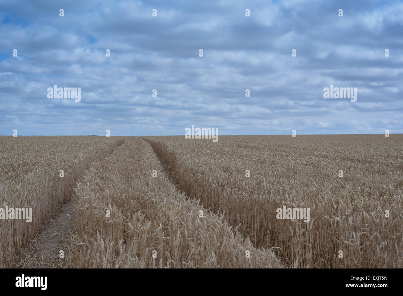 Dry wheat field closeup with nobody with blue cloudy sky - Stock Image