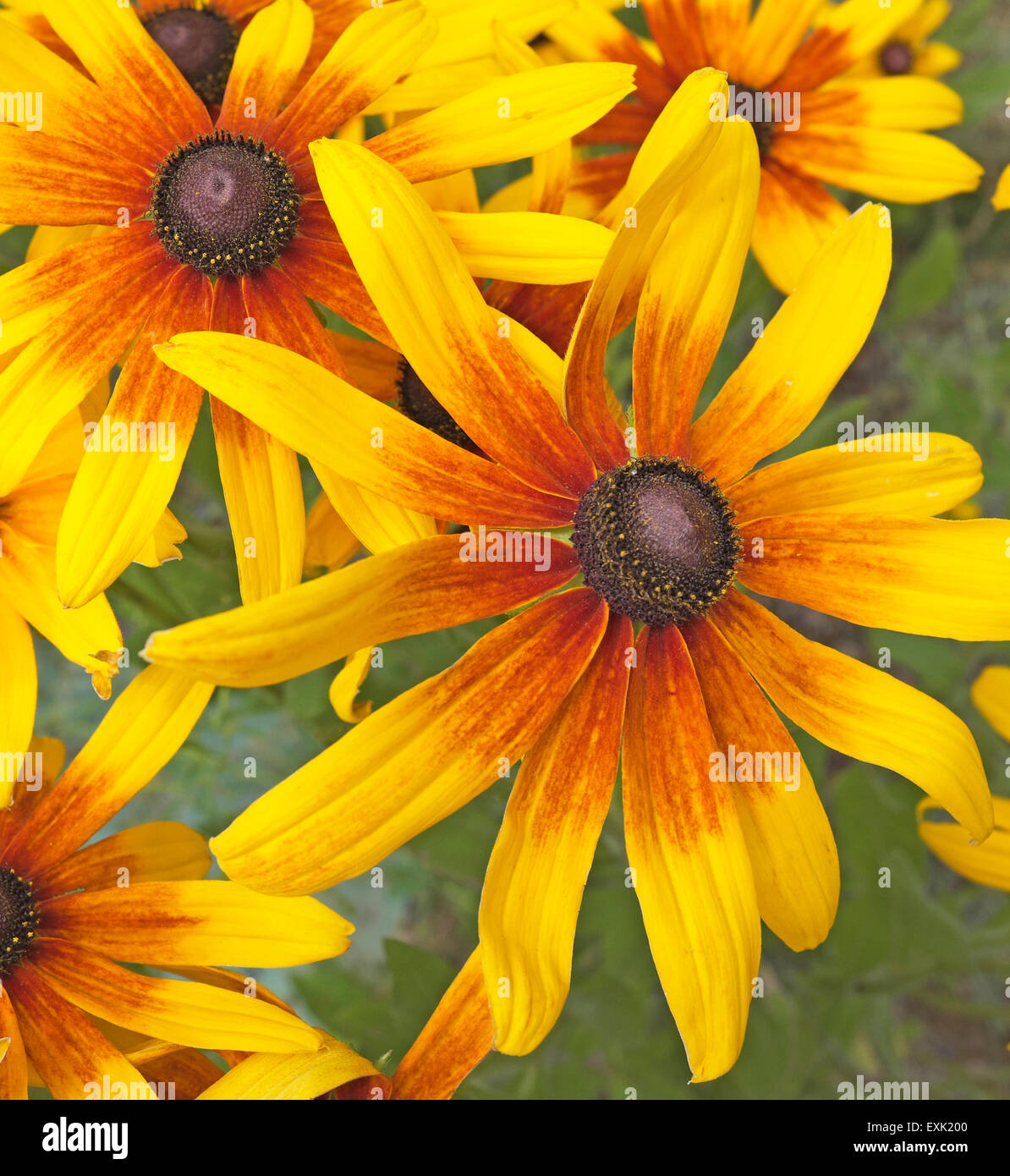 Gloriosa Daisy Stock Photos Gloriosa Daisy Stock Images Alamy