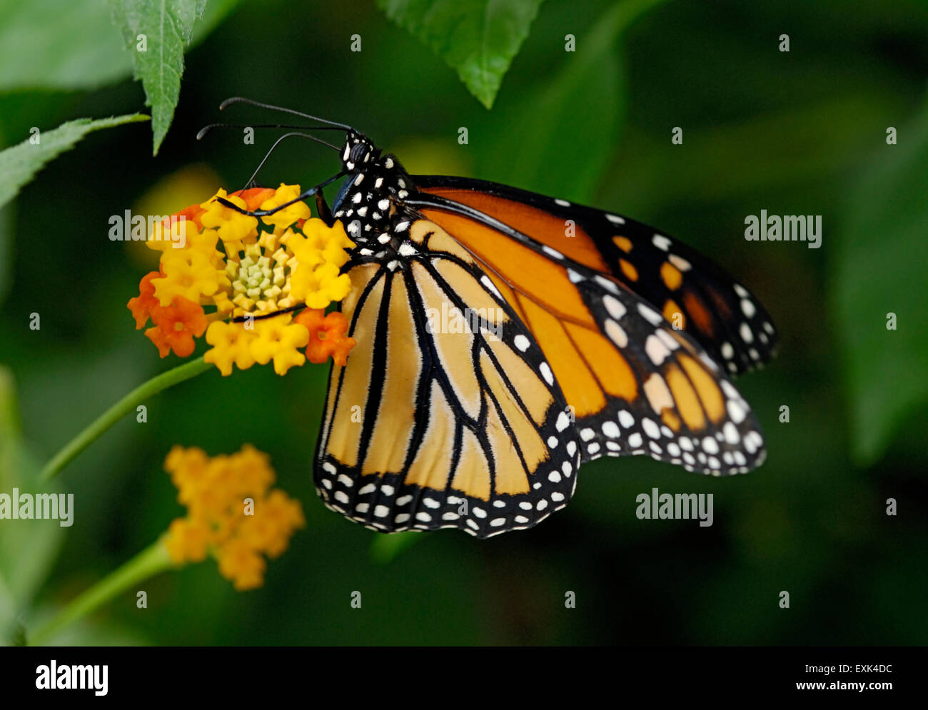 Monarch butterfly, Danaus plexippus, feeding on Lantana sp. flower the butterfly's proboscis is seen extending - Stock Image