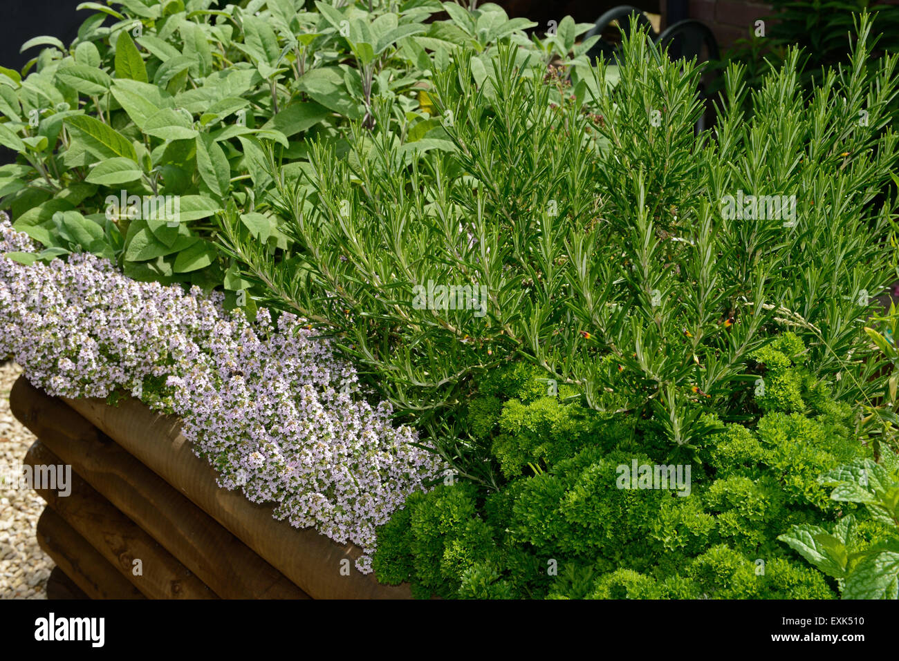 Flowering Rosemary Plant Stock Photos & Flowering Rosemary