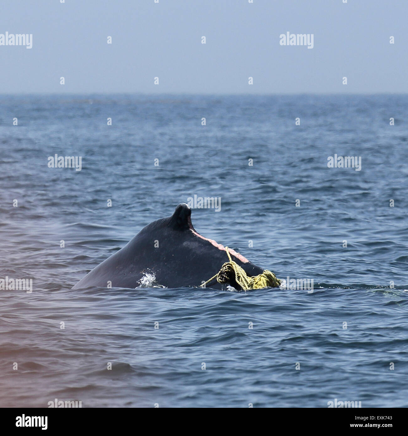 Nova Scotia, Canada. 14th July, 2015. An injured humpback whale (Megaptera novaeangliae) in the Bay of Fundy off - Stock Image