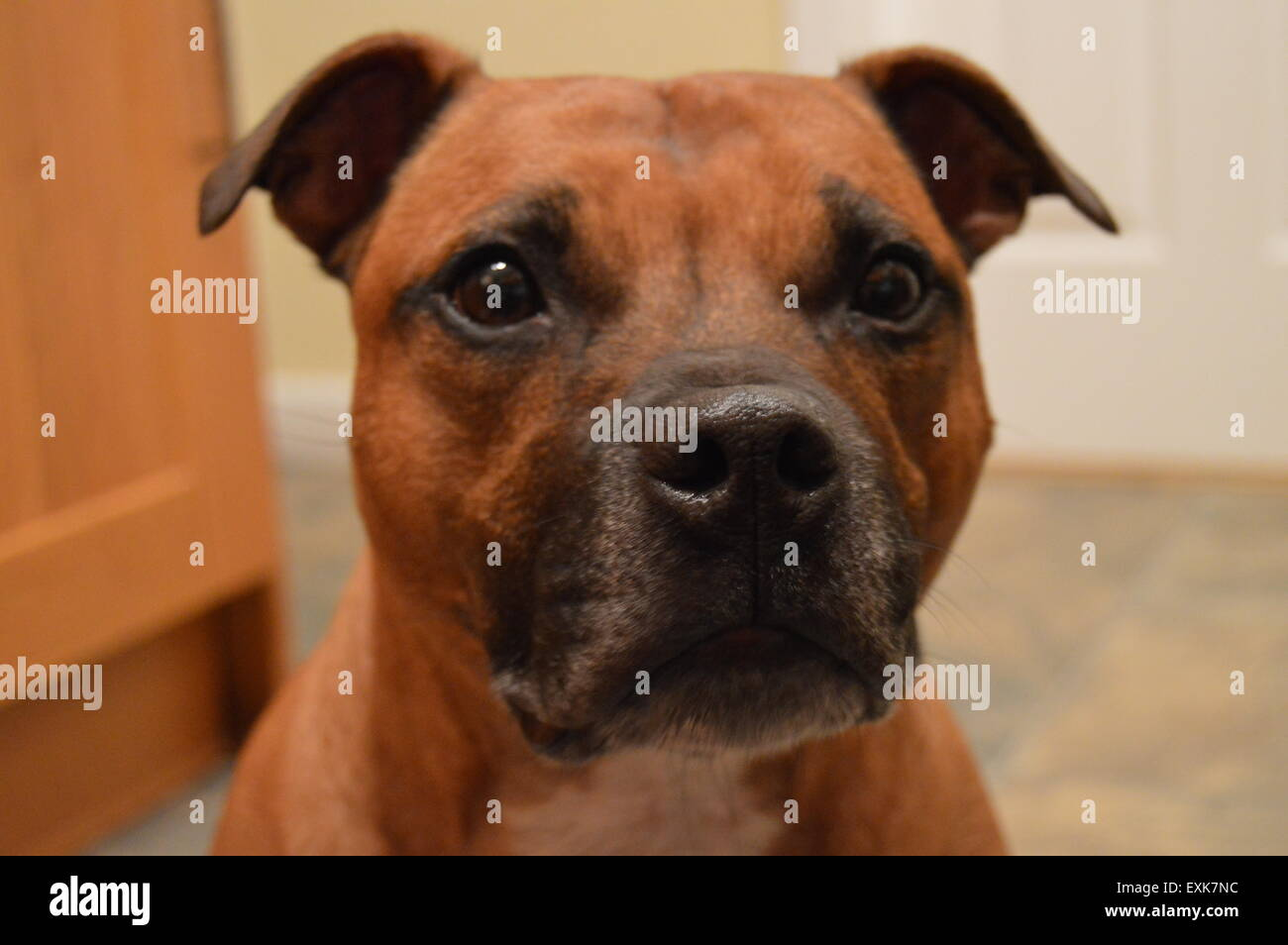 Red Staffordshire Bull Terrier Portrait - Stock Image