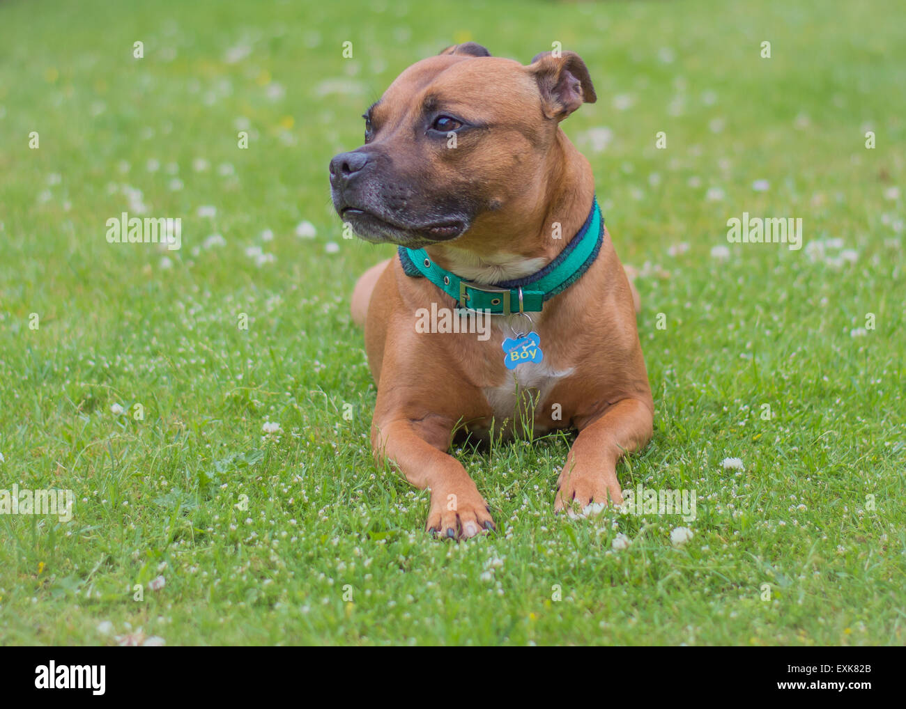 Red Staffordshire Bull Terrier lying in grass - Stock Image
