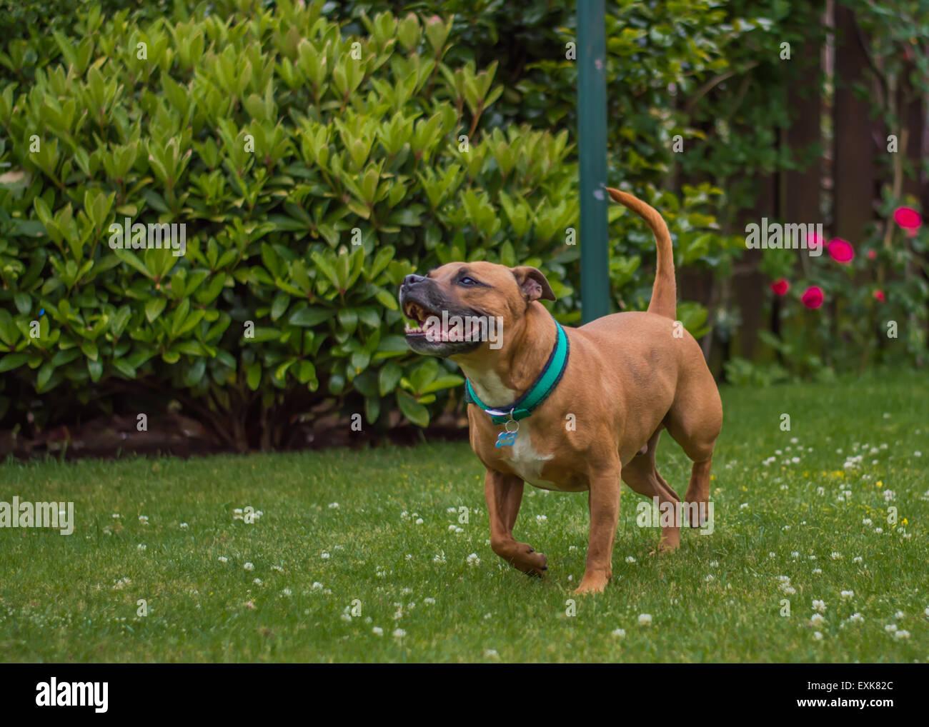 Staffordshire bull terrier running in garden - Stock Image
