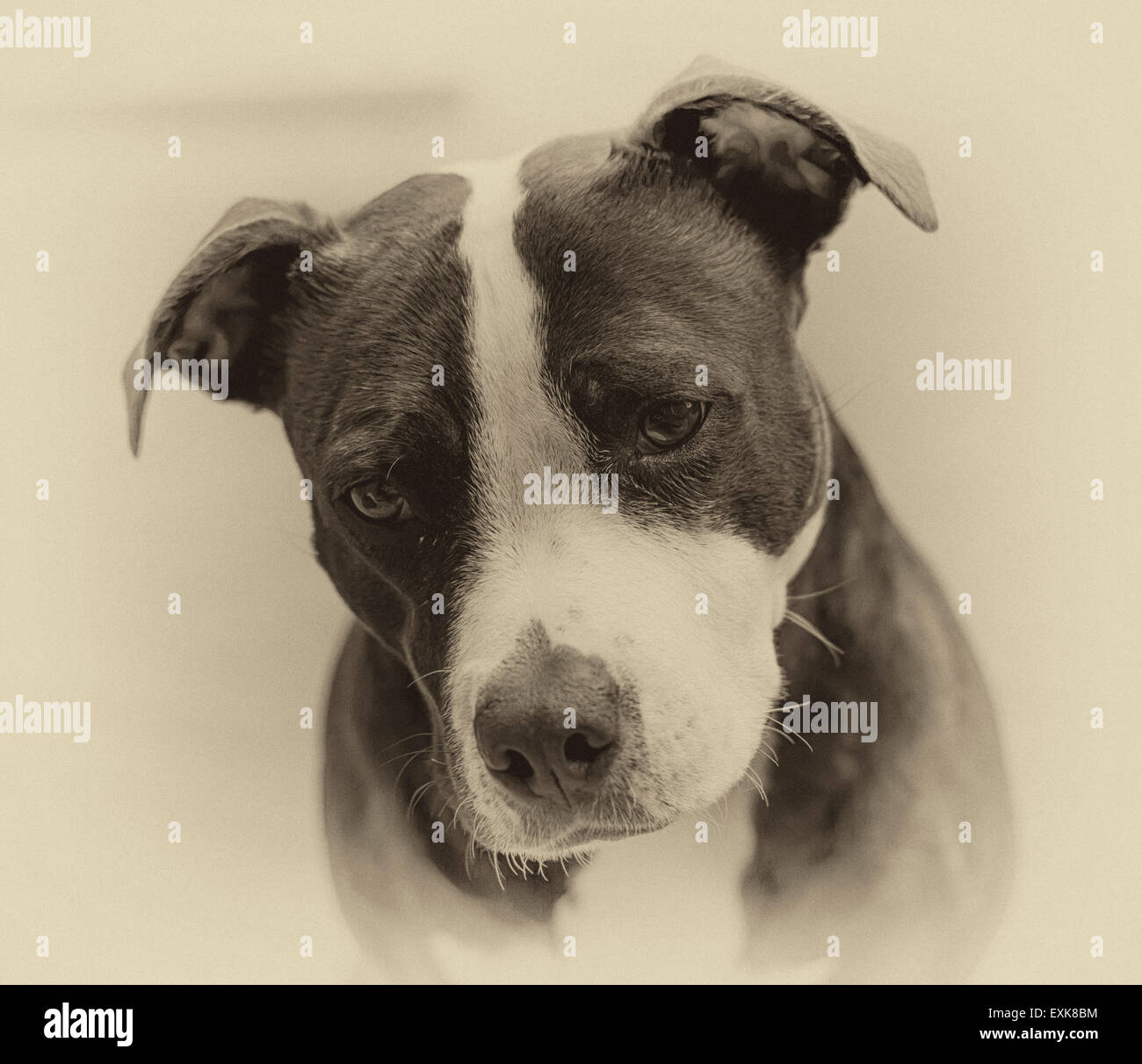 Black & White photograph of pet dog - Stock Image
