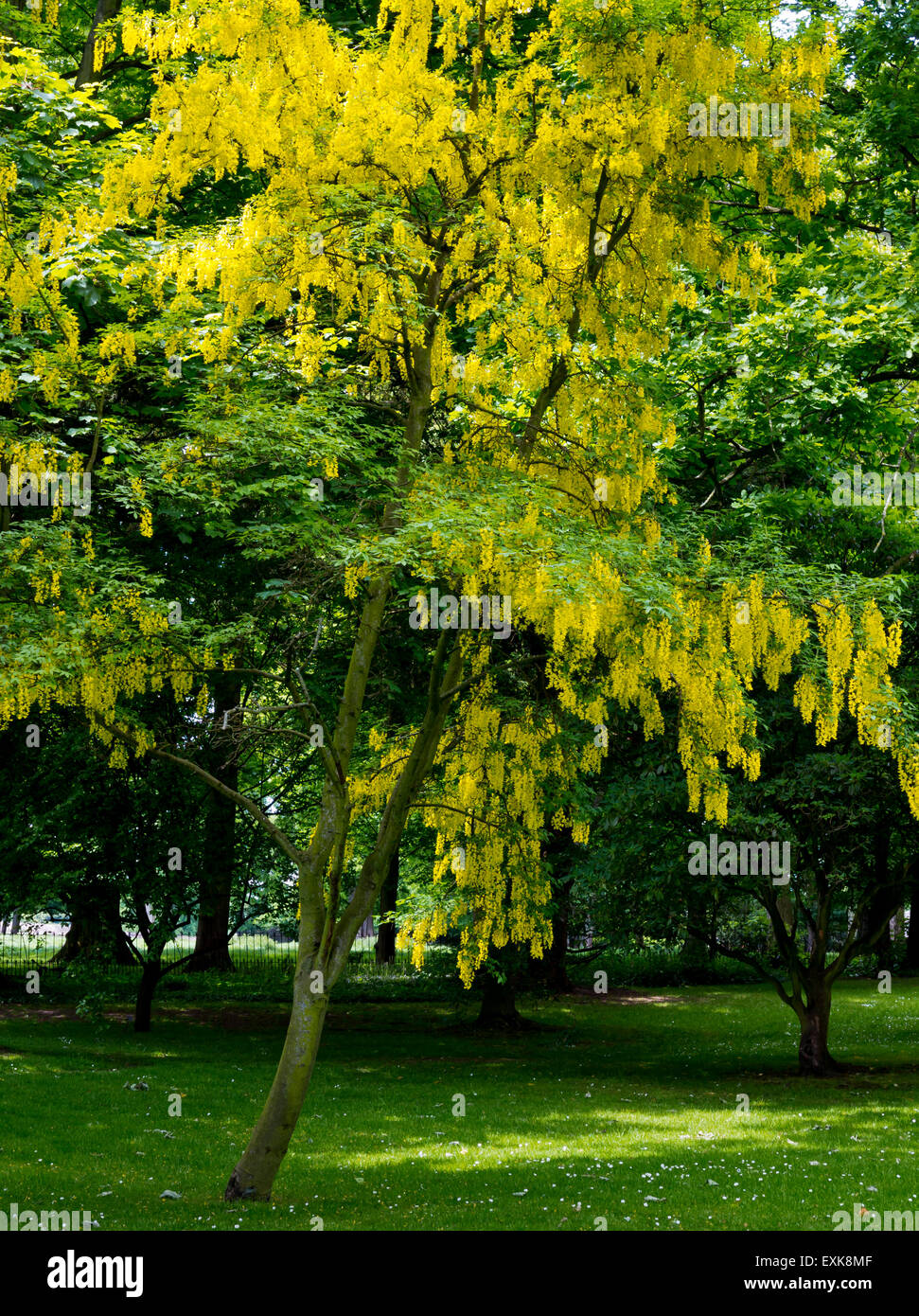 Laburnum tree in full flower in late spring with distinctive yellow colour covering the branches - Stock Image