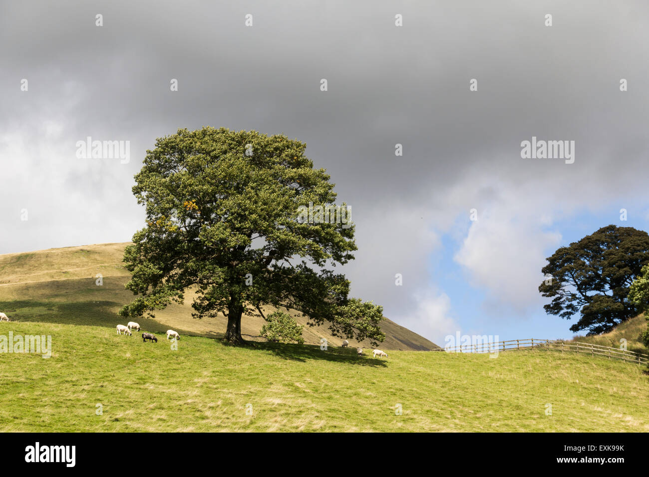 Sheep grazing on land on the edge of Sedbergh, Cumbria. Beyond is Crook Fell which lies  on the northern boundary - Stock Image