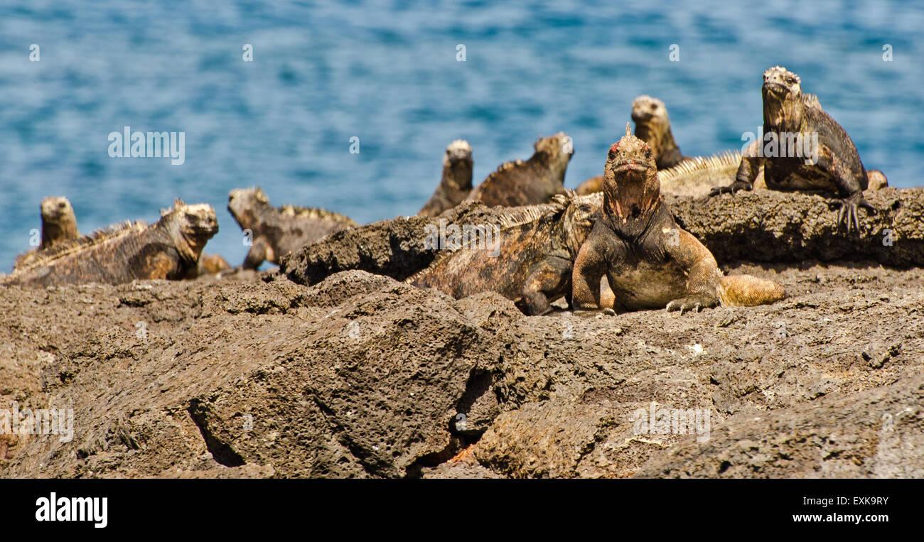 Marine iguana (Amblyrhynchus cristatus) in the Galapagos Islands - Stock Image