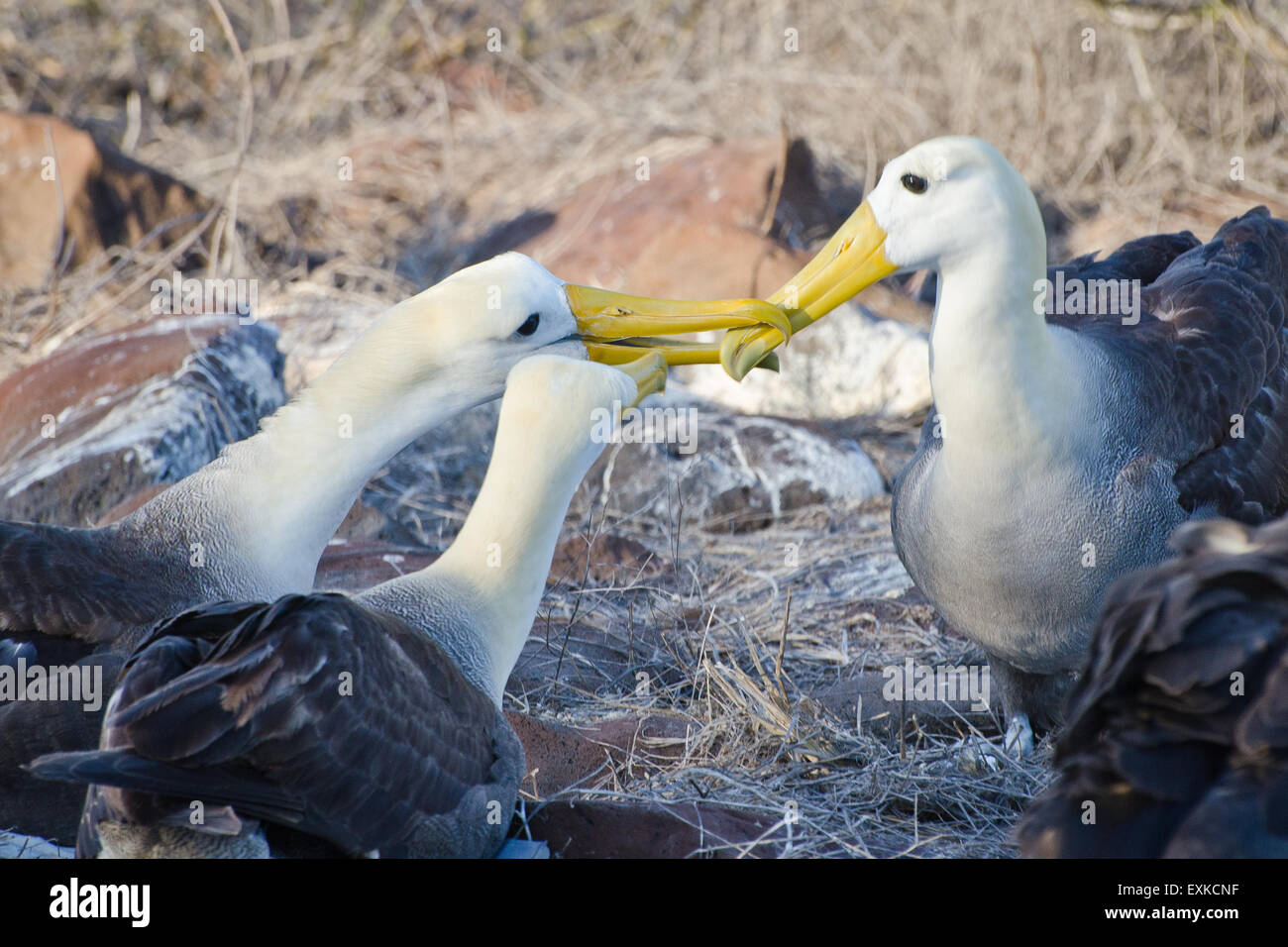 Waved Albatross family touching beaks as they prepare to leave, Galapagos Islands, Ecuador Stock Photo