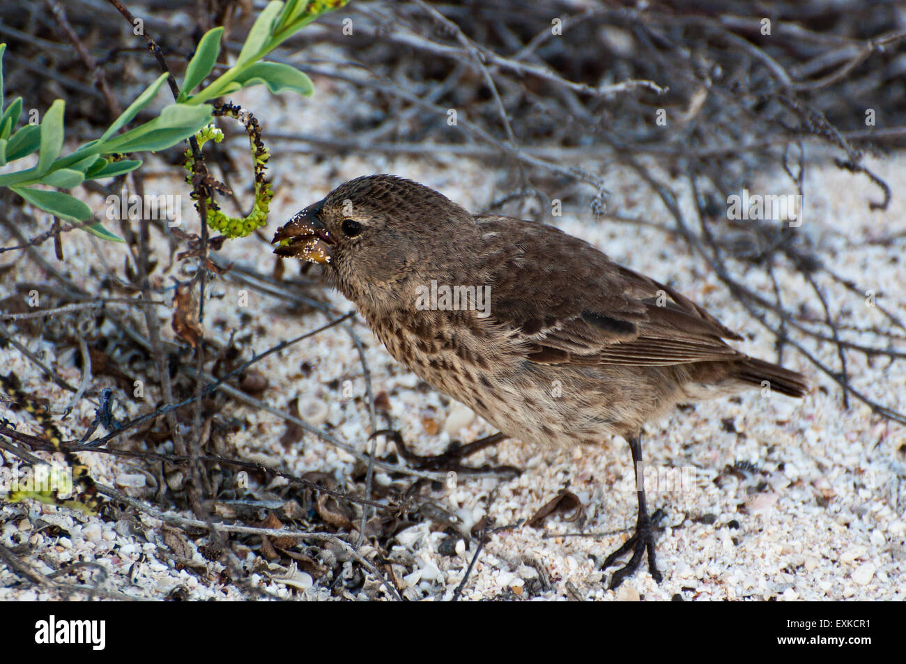 Darwin's finch on ground eating seed, Galapagos Islands, Ecuador - Stock Image