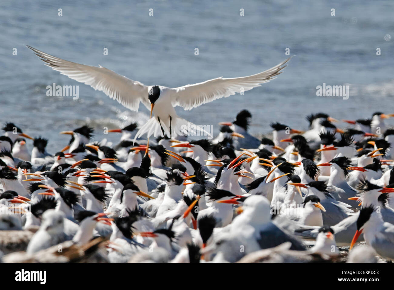 One Elegant Tern hovers above the milling flock, wings out-streched, head bent. West coast of Baja California. - Stock Image